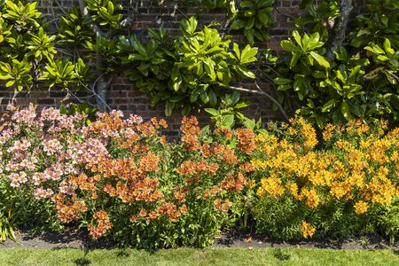 Varied colours Alstroemeria plants, also called Peruvian lily in a garden border. Stock Photo