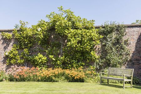 Walled garden with large espaliered magnolia tree and wooden bench.