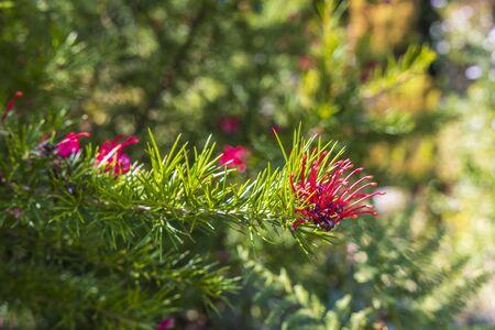 Deep pink flowers of Grevillea