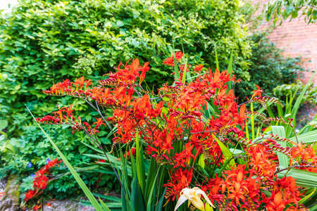 Red Crocosmia flowering plant in a herbaceous border. Archivio Fotografico