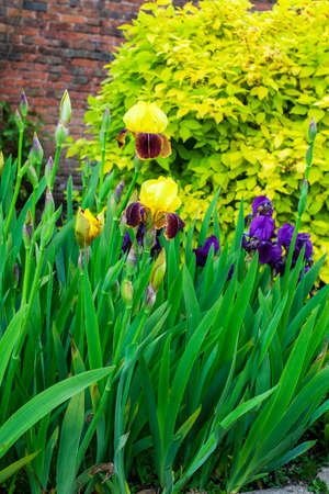 Yellow and purple Bearded Irises in a herbaceous border.