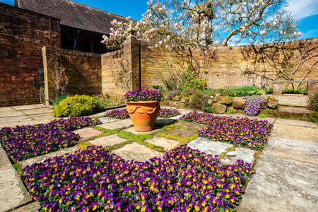 Old flagged English garden with carpet of purple and yellow violas in springtime.