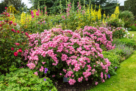 Herbaceous border with large pink rose shrub, yellow verbascum and mallow plants. Archivio Fotografico
