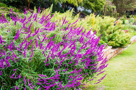 Flowering plant Lythrum salicaria or purple loosestrife in a herbaceous border.