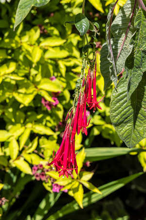 Small red pendent flowers of Fuchsia boliviana or Bolivian Fuchsia.