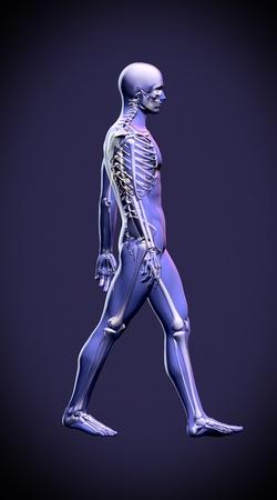Walking man - anatomy skeleton study concept Stock Photo - 19244664