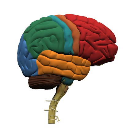 Human brain parts Stock Photo - 19244691
