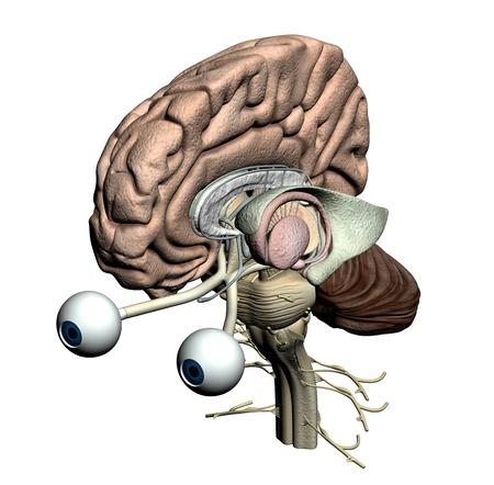 Brain parts - isometric view Stock Photo - 19244811