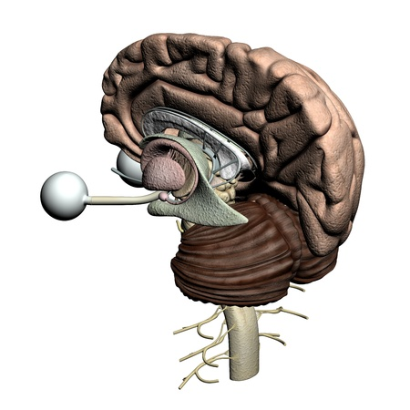 Brain parts - isometric view Stock Photo - 19244815
