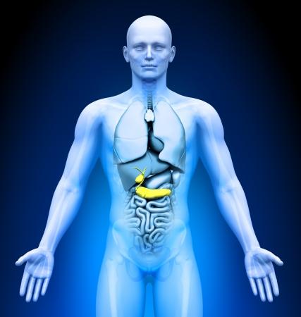 Medical Imaging - Male Organs - Gallbladder   Pancreas photo
