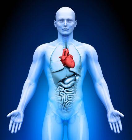 Medical Imaging - Male Organs - Heart photo