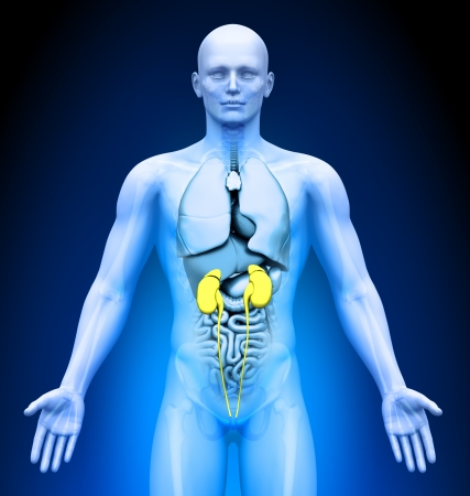Medical Imaging - Male Organs - Kidneys photo