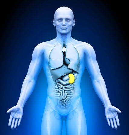 spleen: Medical Imaging - Male Organs - Spleen