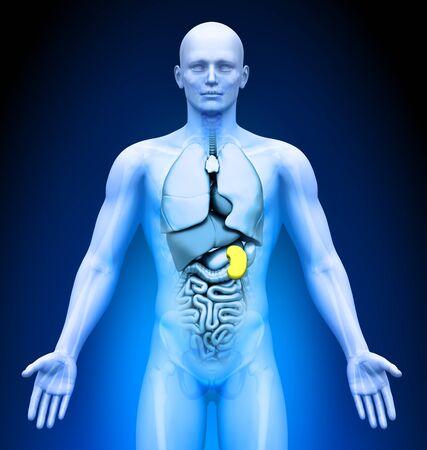 medical imaging: Medical Imaging - Male Organs - Spleen