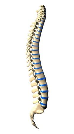 colonna vertebrale: Spine vertebre - Vista laterale Vista laterale