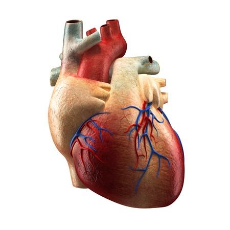 Real hart geïsoleerd op wit - Anatomie van de mens model Stockfoto