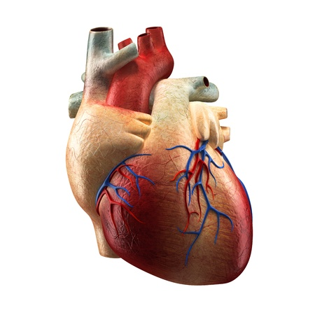 skeleton anatomy: Real Heart Isolated on white - Human Anatomy model Stock Photo