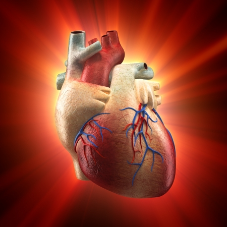 heart pain: Real Heart Shinning in Light - Human Anatomy model Stock Photo