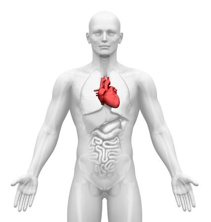 medical scans: Medical Imaging - Male Organs - Heart