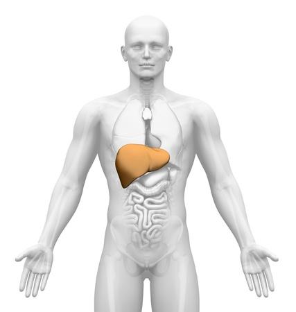 Medical Imaging - Male Organs - Liver photo