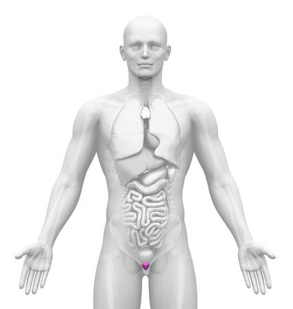 muscular organ: Medical Imaging - Male Organs - Prostate