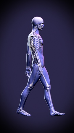 adult bones: Walking man - anatomy skeleton study concept