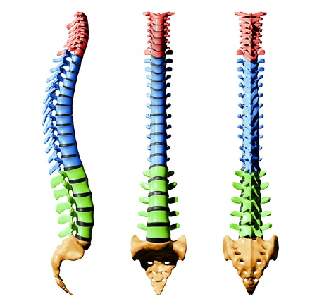 Spine Vertebrae - Color Parts Stock Photo - 19244757