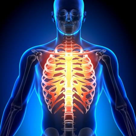 rib cage: Rib Cage Skeleton Medical Anatomy