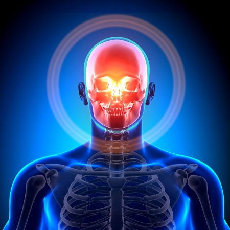 sternum: Cranium Skull Skeleton Medical Anatomy Stock Photo