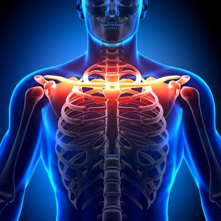 skelett mensch: Schl�sselbein Anatomie Bones