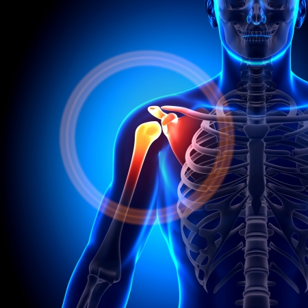 clavicle: Shoulder Joint Anatomy Bones Stock Photo
