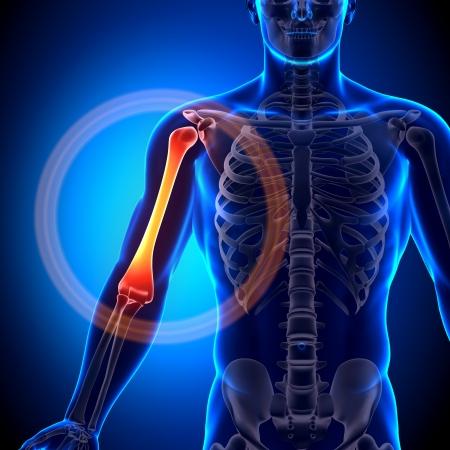 Humerus Arm Anatomy Bones Stock Photo