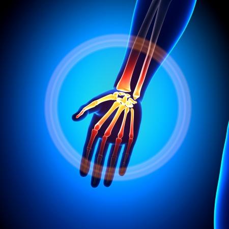 mandible: Palm Anatomy Bones