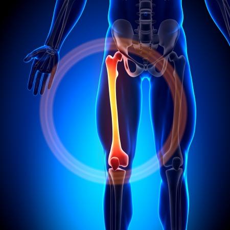 articulaciones: Bones anatom�a del f�mur