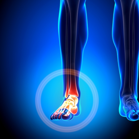Tarsals Phalanges Ankle Anatomy Bones