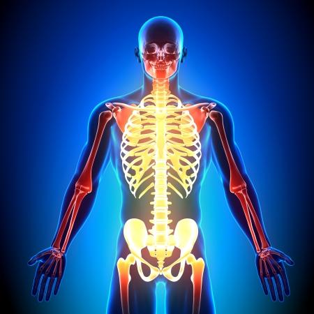 radius ulna: Skeleton Front Anatomy Bones