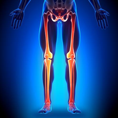 radius ulna: Legs Anatomy Bones