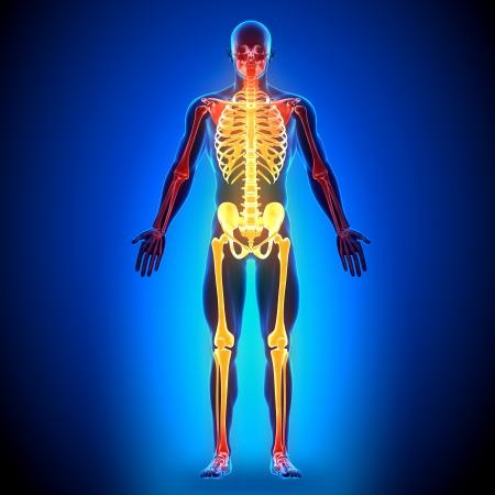 skeleton anatomy: Skeleton Anatomy Bones