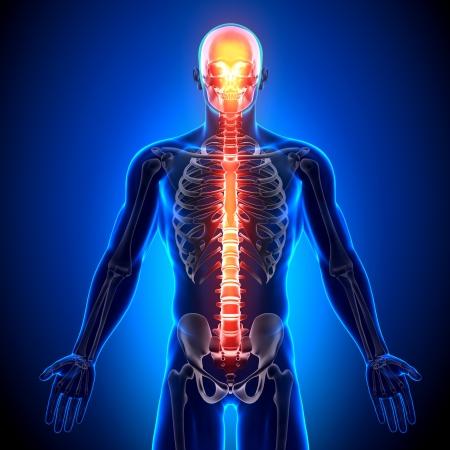 mandible: Spine Anatomy Bones