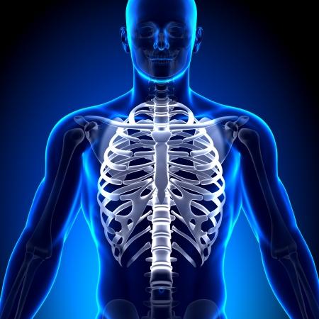 rib cage: Rib Cage Sternum Anatomy Bones