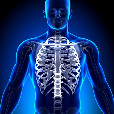 radius ulna: Rib Cage Sternum Anatomy Bones