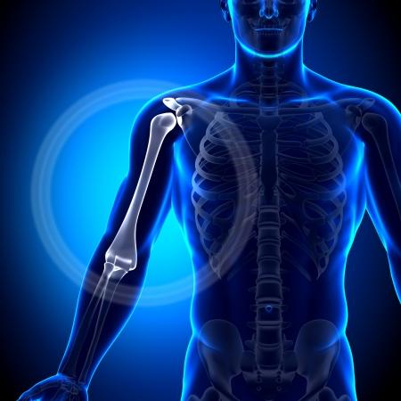 radius ulna: Humerus Anatomy Bones