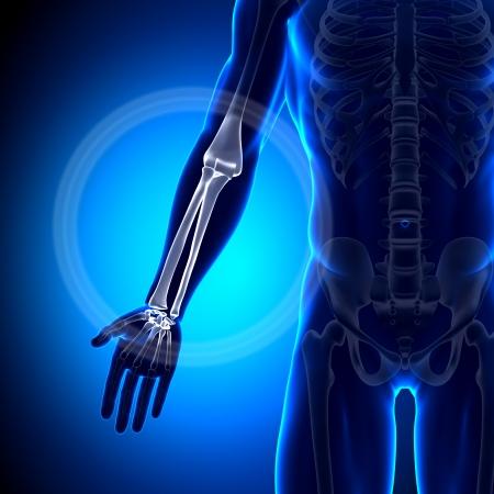 radius ulna: Radius Ulna Anatomy Bones Stock Photo