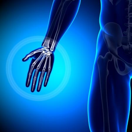 radius: Hand Anatomy Anatomy Bones