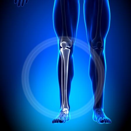 tibia: Tibia Fibula Calf Anatomy Bones