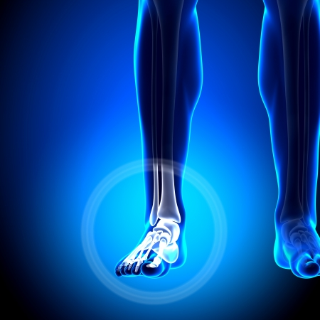 radius ulna: Tarsals Phalanges Ankle Anatomy Bones