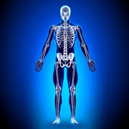 anatomy x ray: Skeleton Anatomy Bones