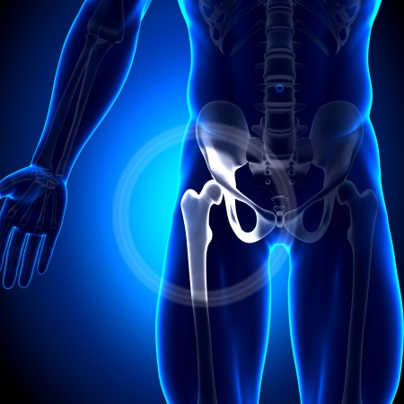 anatomy knee: Hip Joint Femur Anatomy Bones Stock Photo