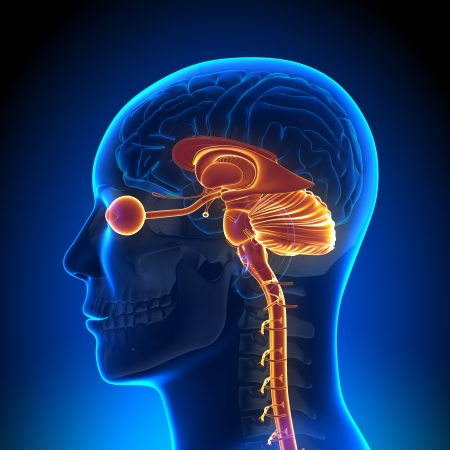 hipofisis: Brain Anatomy piezas internas
