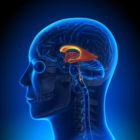 hipofisis: Ventrículos anatomía del cerebro Foto de archivo
